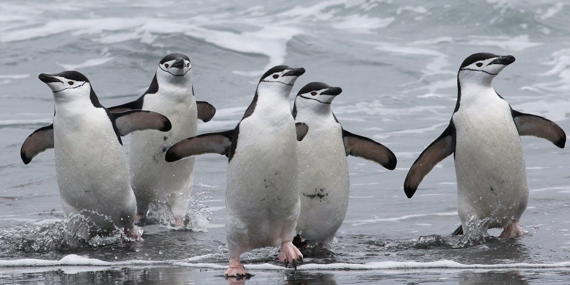 Climate Crisis Weekly: The decline of the penguins - Electrek