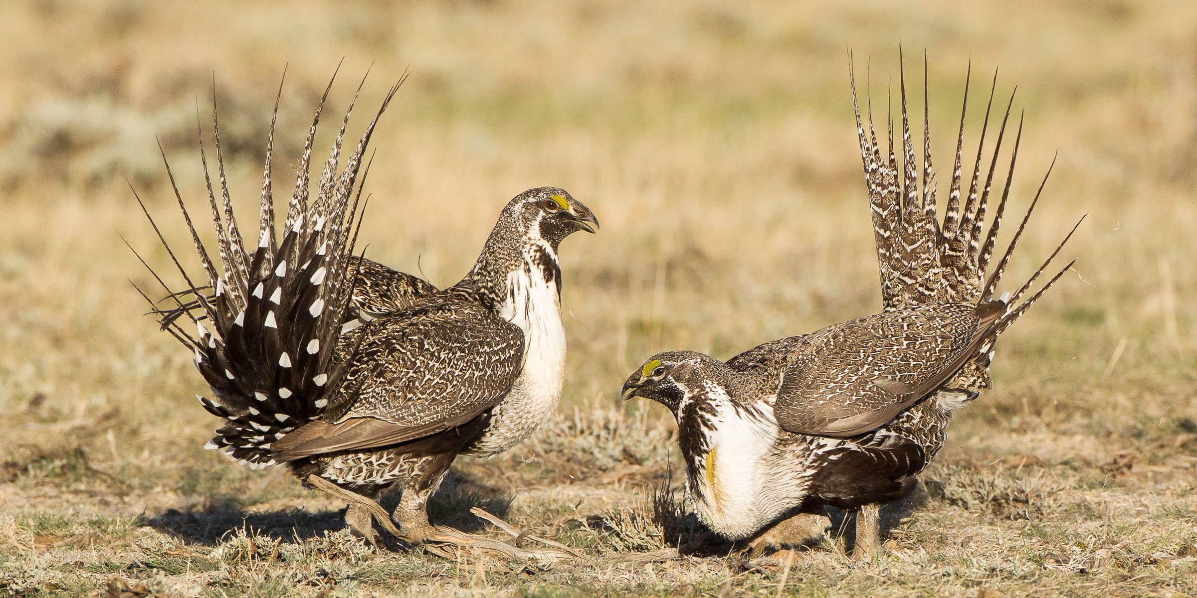 sage grouse 1 jpg?quality=82&strip=all.'